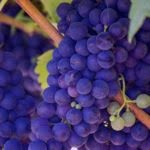 purple grapes on vine