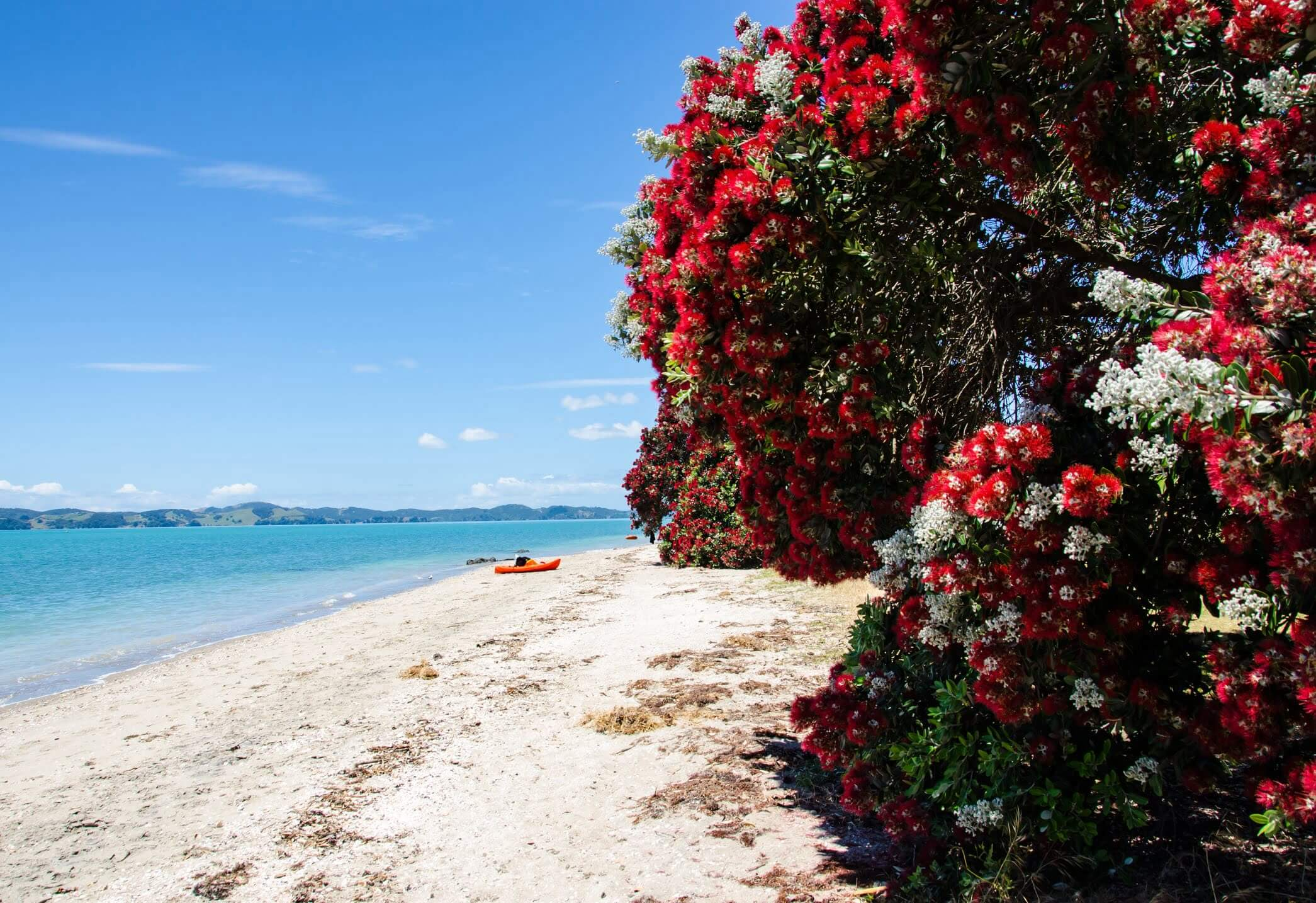 Pohutakawa Tree on beach in New Zealand